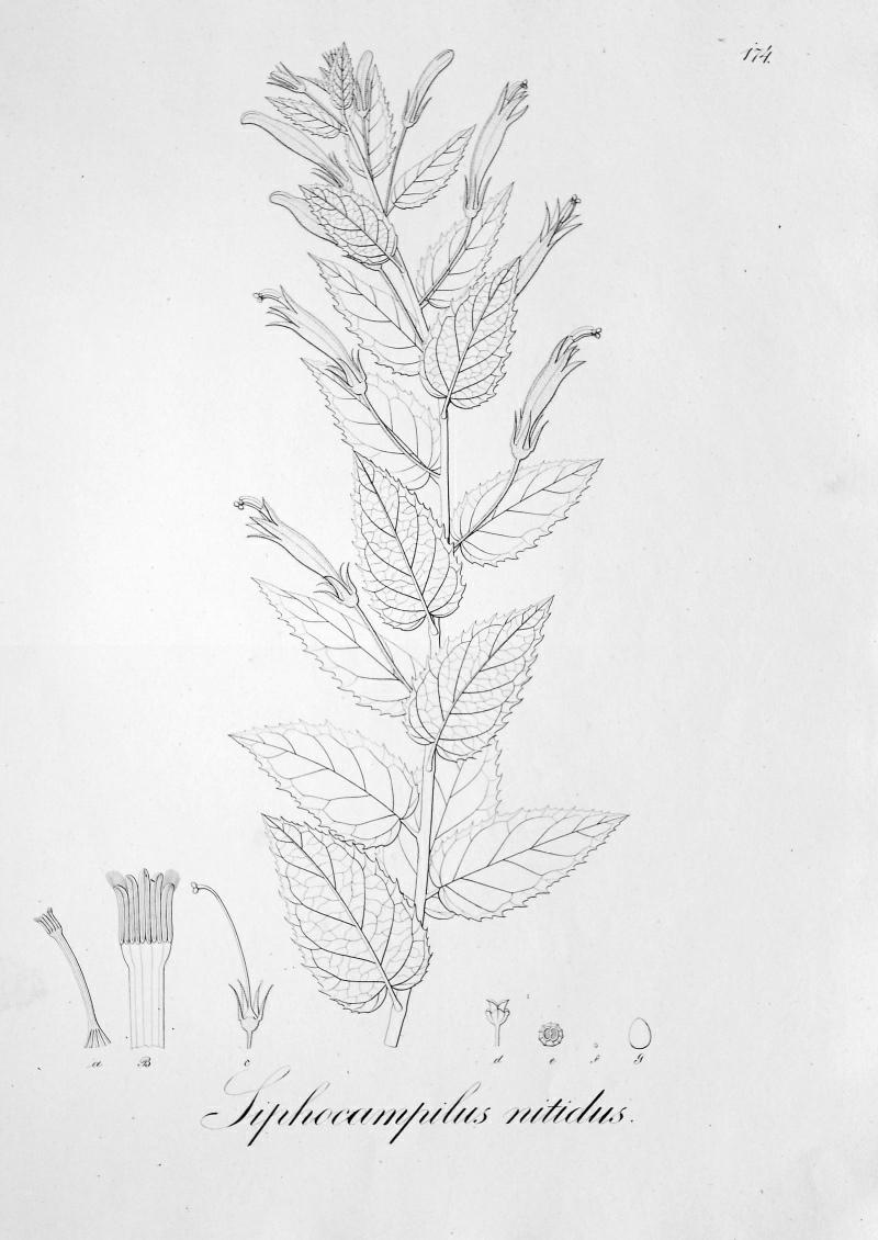 Pérovka z: Pohl: Plantarum Brasiliae (1828)