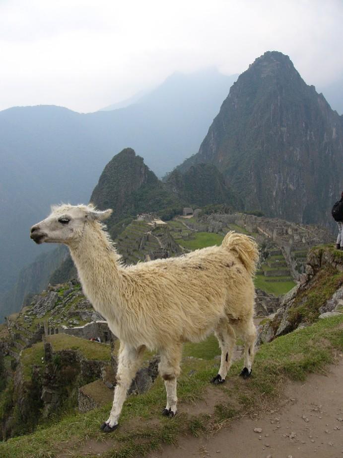 Machu Picchu s lamou v popředí (autorem fotografie je Vít Vilímek)