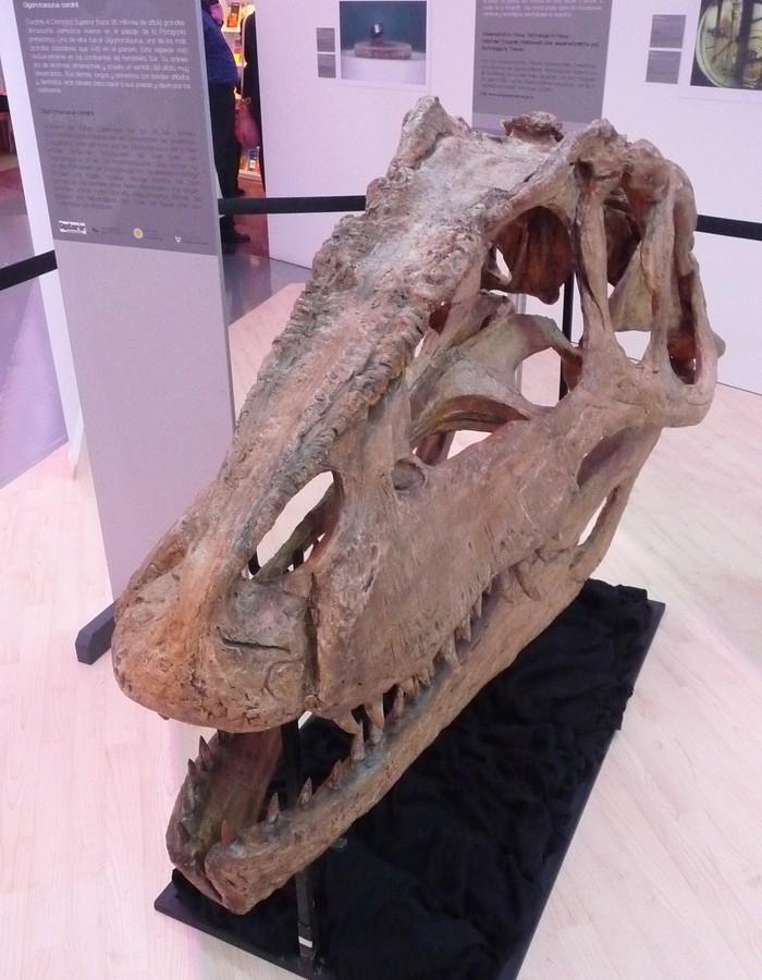 Obr. 13: Hned vedle onoho interaktivního panelu byla ale umístěna lebka největšího dinosaura, který kdy žil; po zemi, v níž byly jeho kosti nalezeny, nese název Gigantosaurus carolini