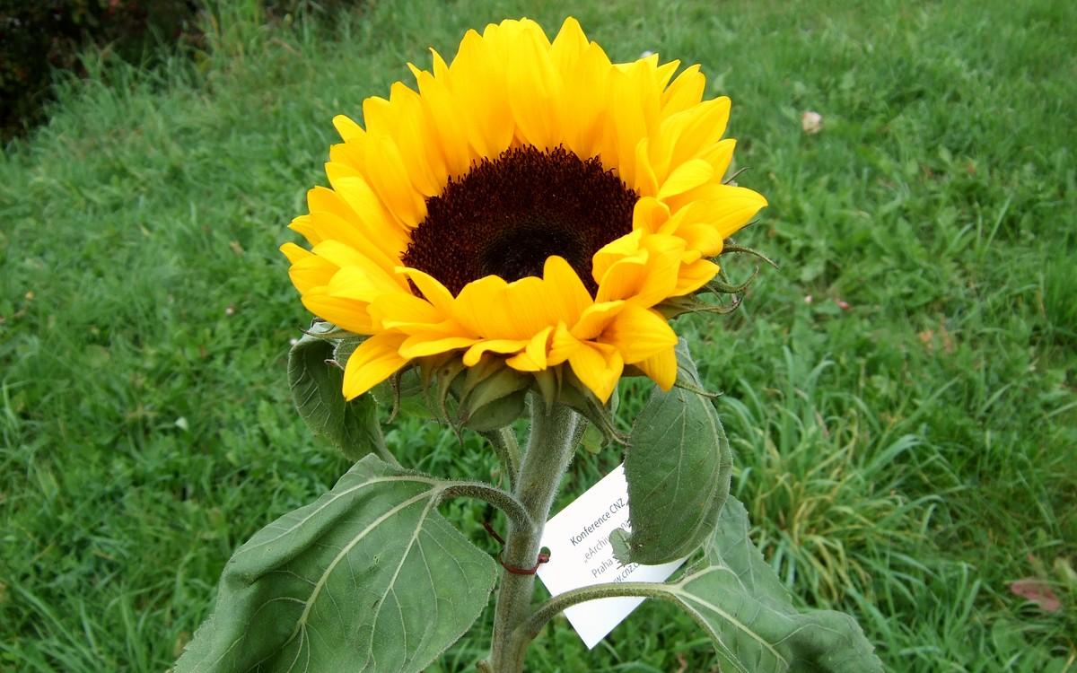 Slunečnice jako symbol eArchivace na výsluní